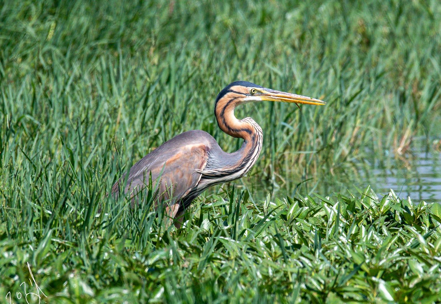ציפור אנפה ארגמנית בשדה
