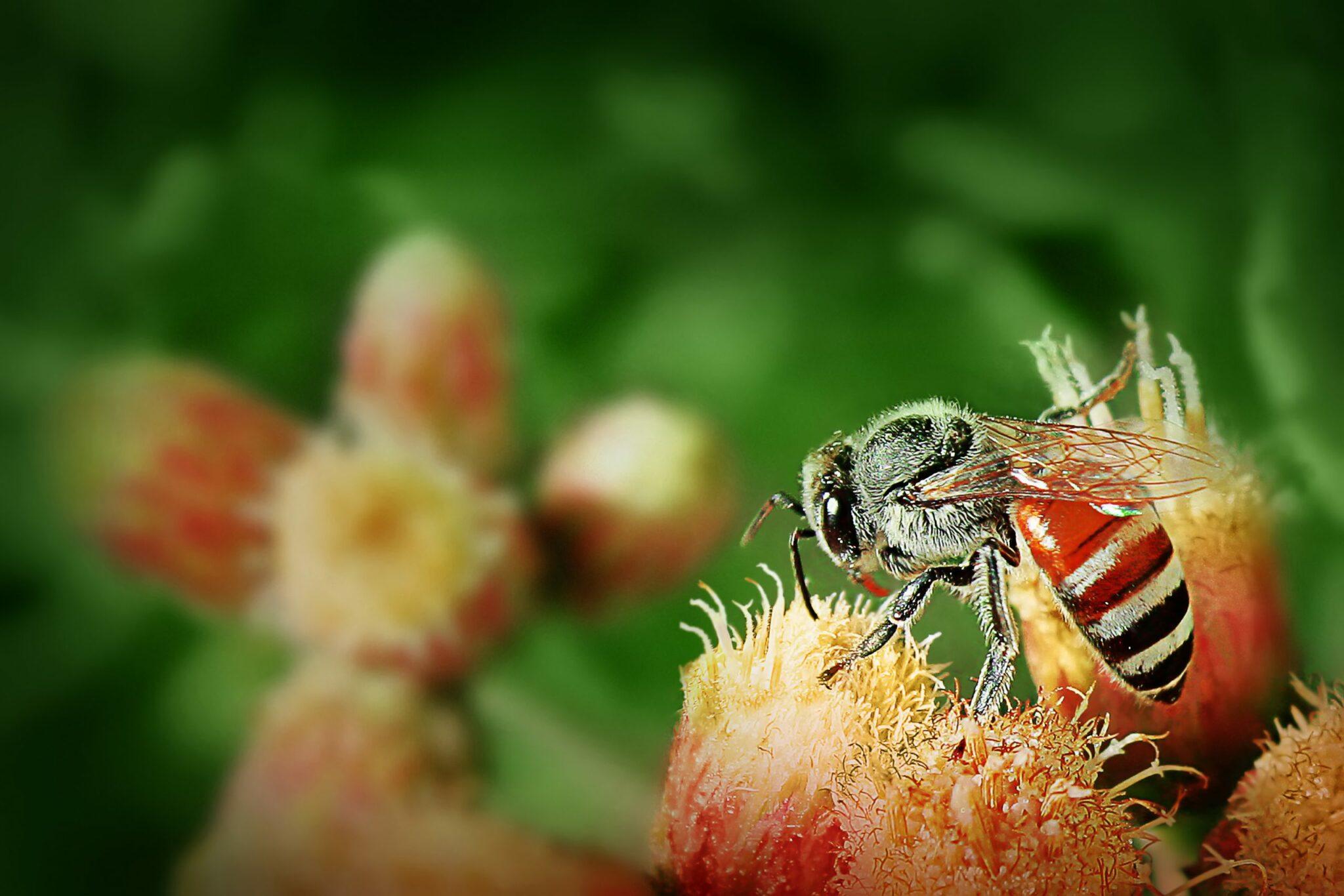 דבורת בר על פרח