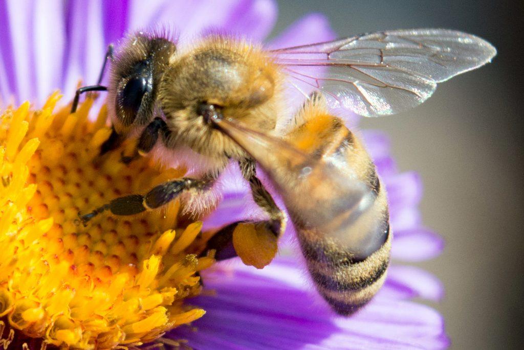 דבורת בר על פרח בתקריב