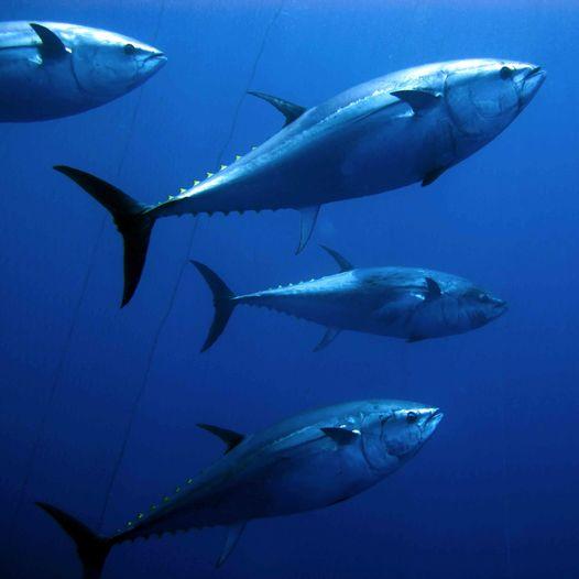 ארבעה דגי טונה כחולת ספיר