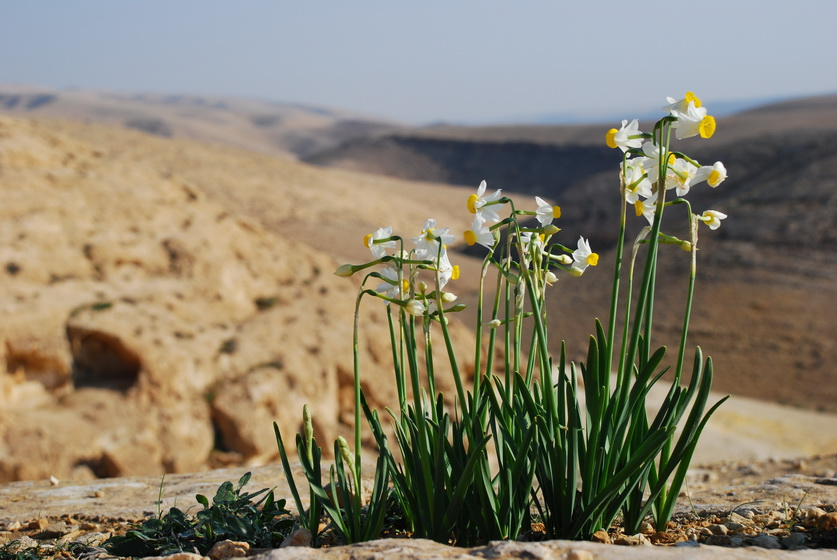 נרקיסים במדבר