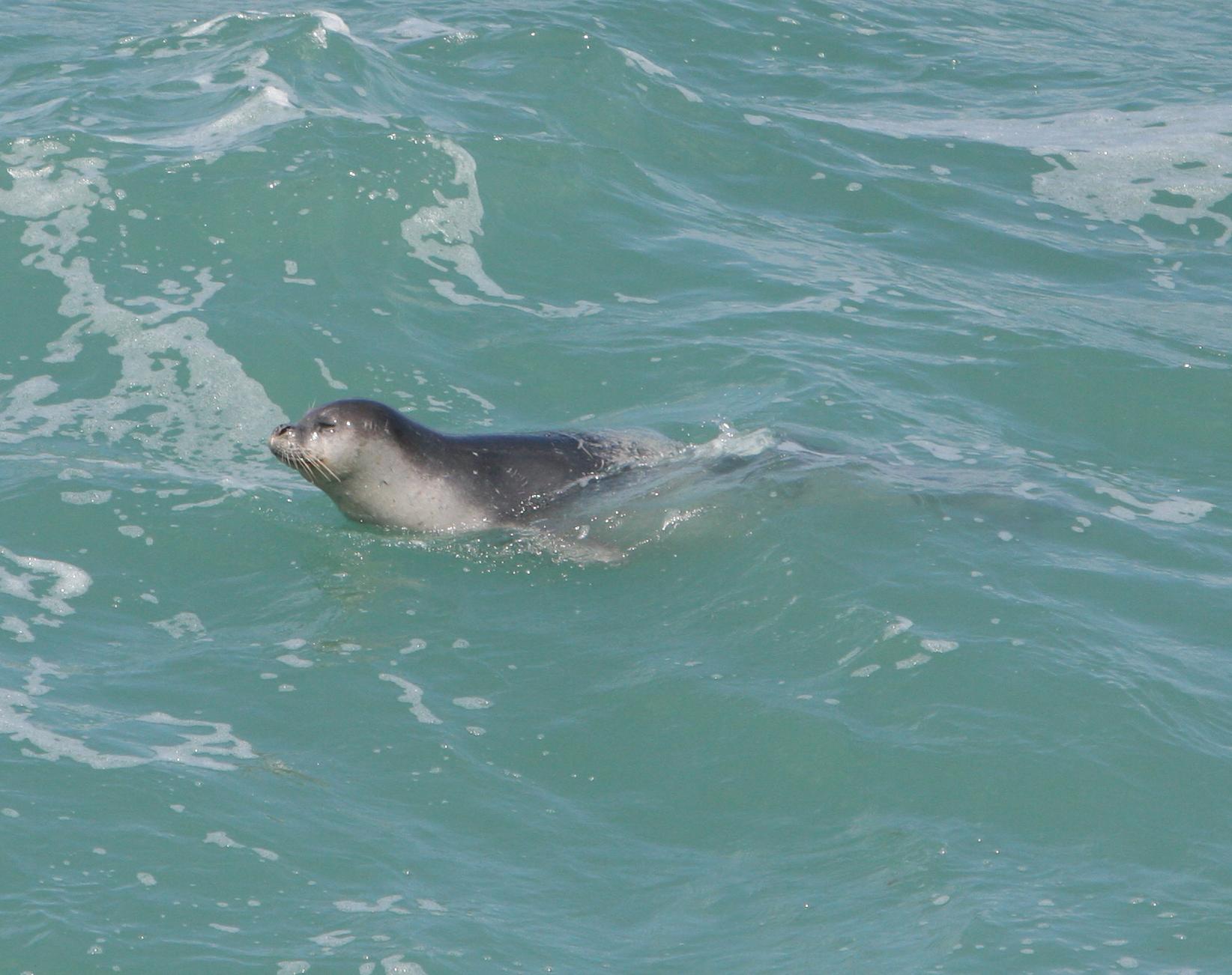 כלבת ים נזירית שוחה מול חופי ראש הנקרה