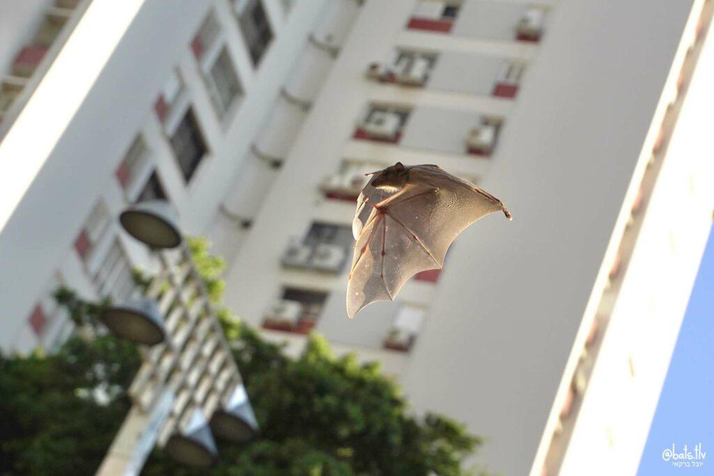 תקריב של עטלף יום עף על רקע בניין