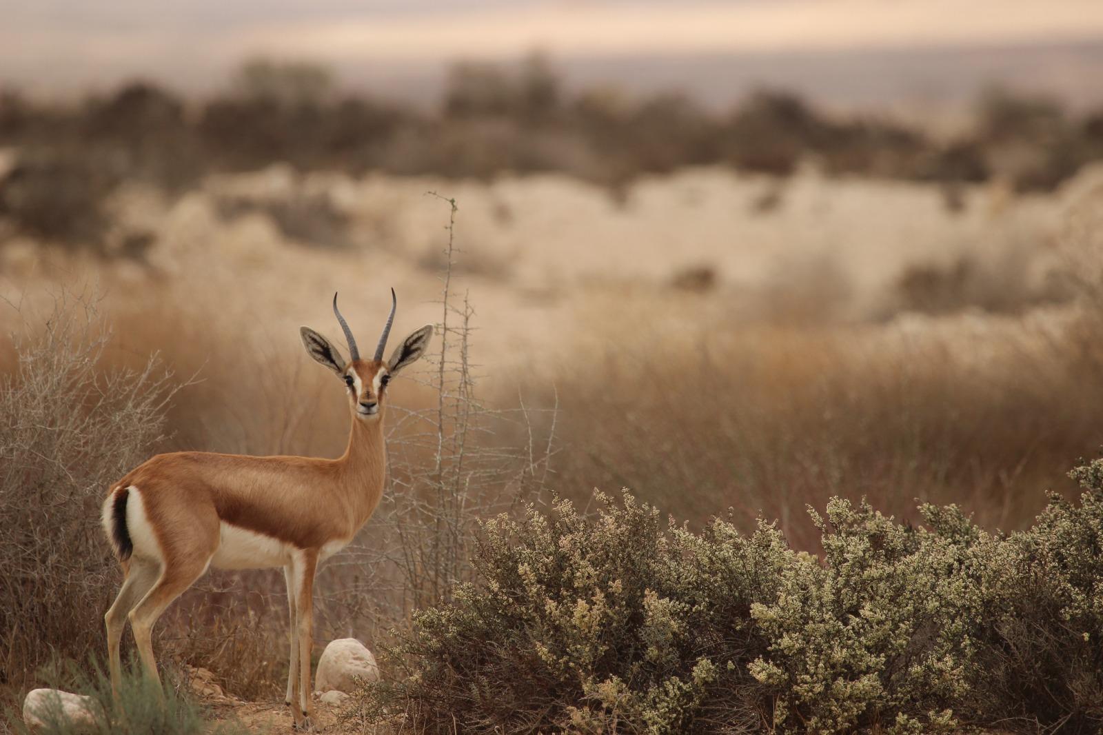 צבי הנגב עומד בלב שדה