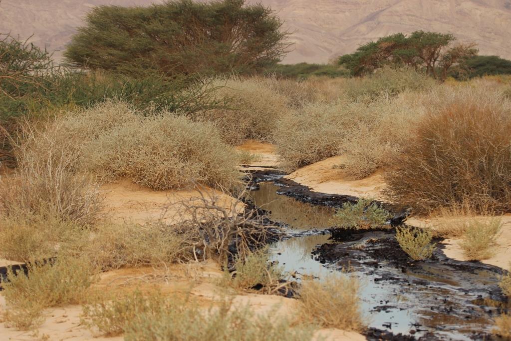 שמורת עברונה אחרי זיהום הנפט