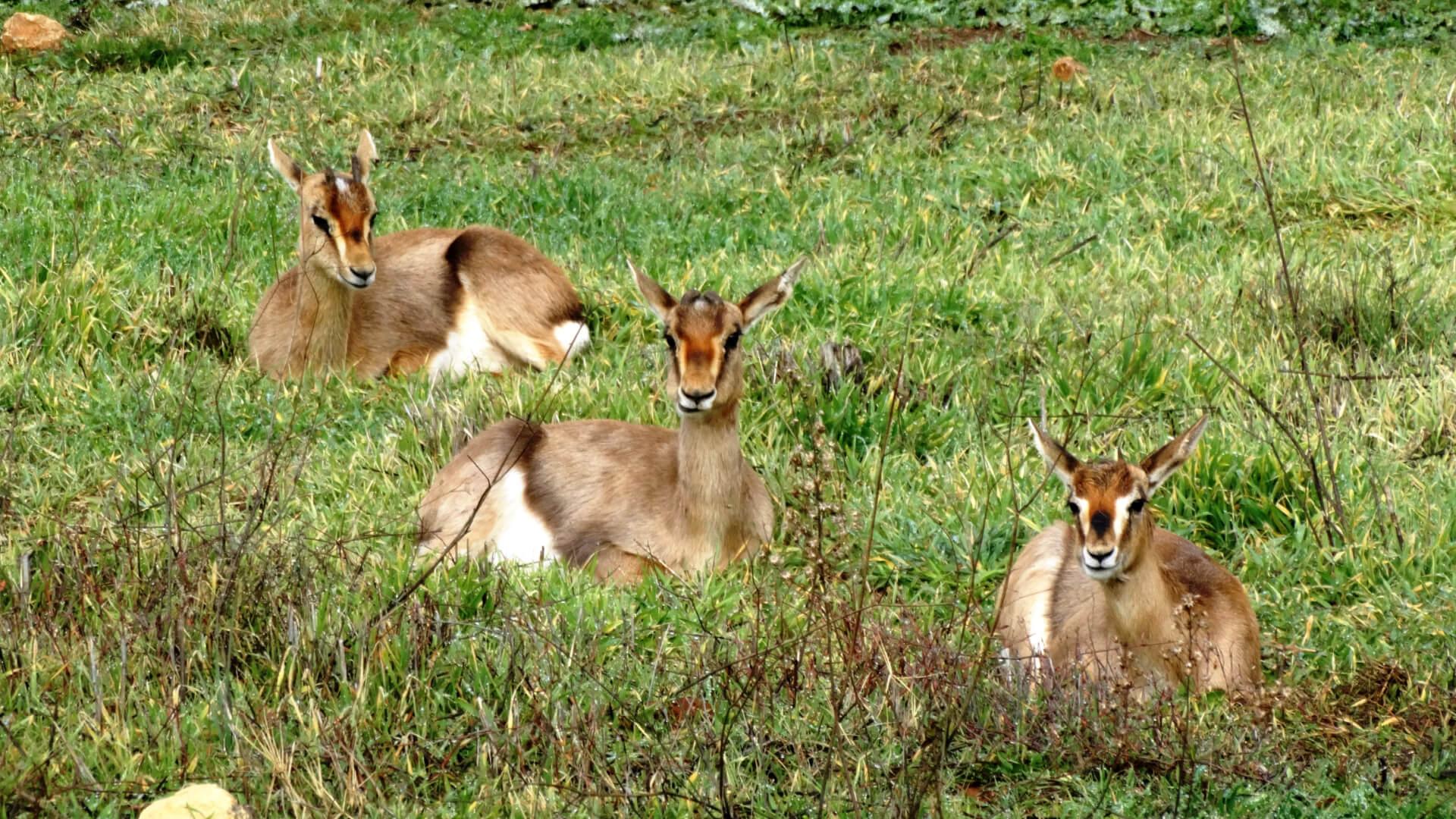 שלושה צבאים בעמק הצבאים בירושלים יושבים על הדשא