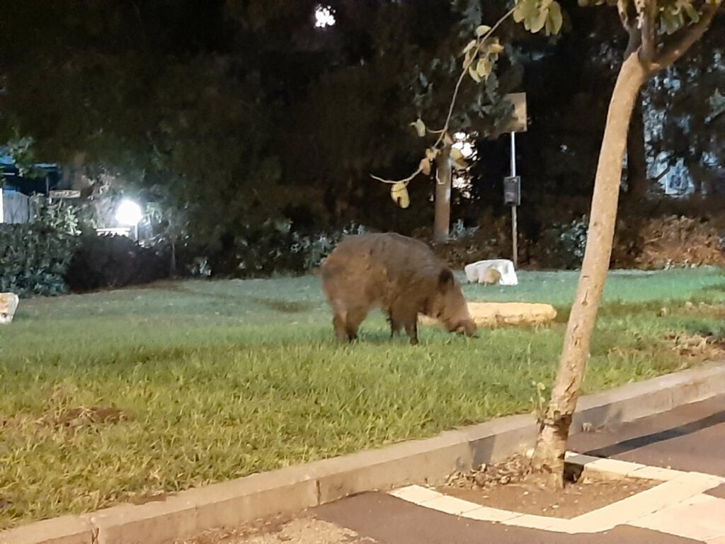 חזיר בר בעיר
