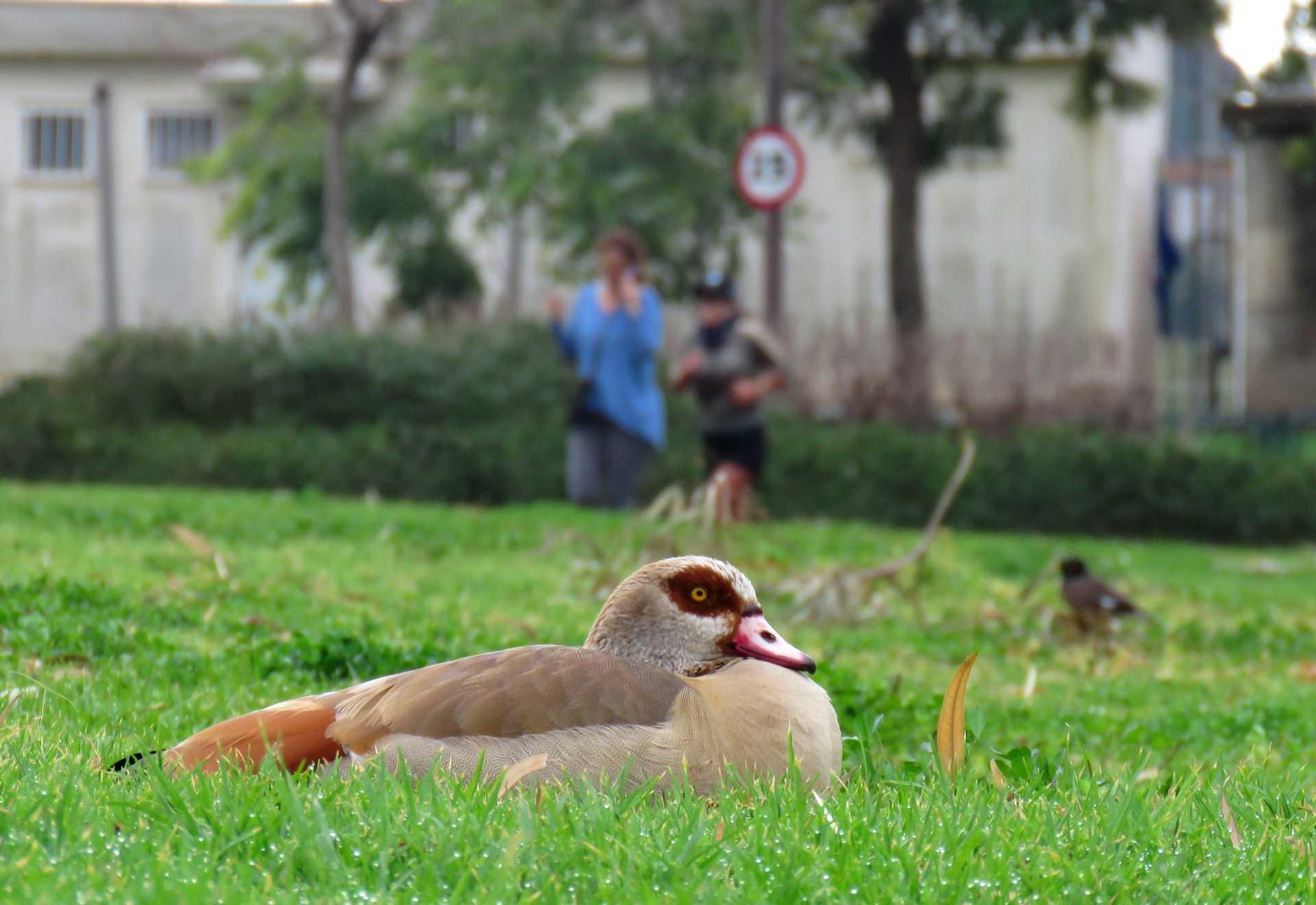 תקריב של ברווז על הדשא בהרצליה