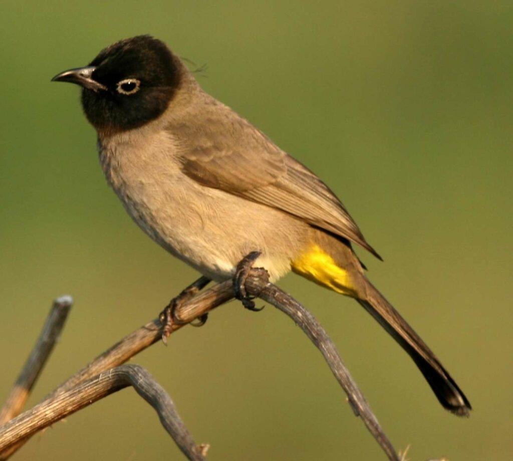 תקריב של ציפור הבולבול